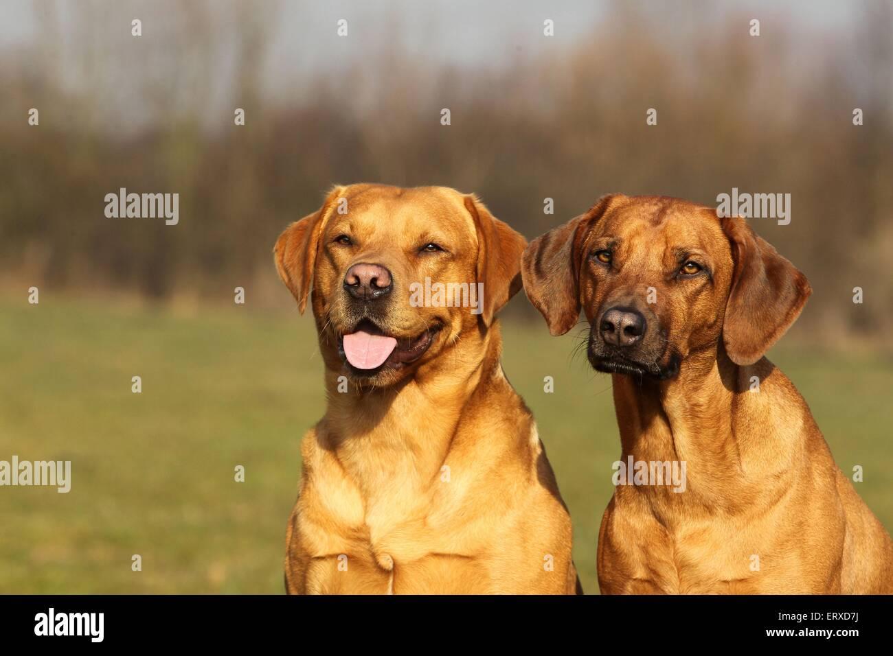 Labrador Retriever Und Rhodesian Ridgeback Stockfoto Bild 83559718