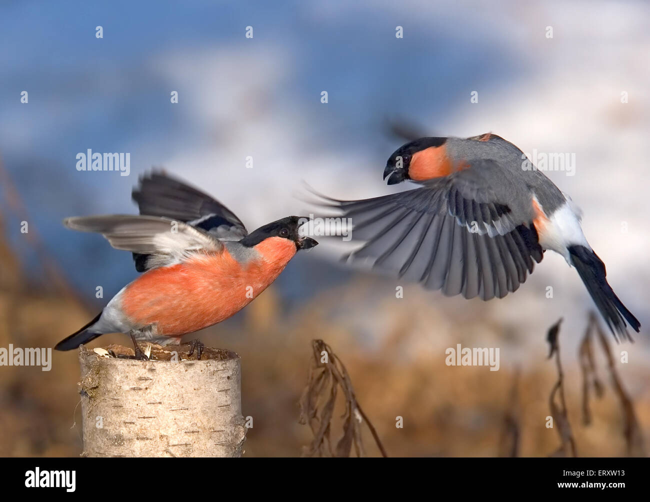 Sperlingsvögel Schlacht. Gimpel Frühjahr kämpfen Stockbild