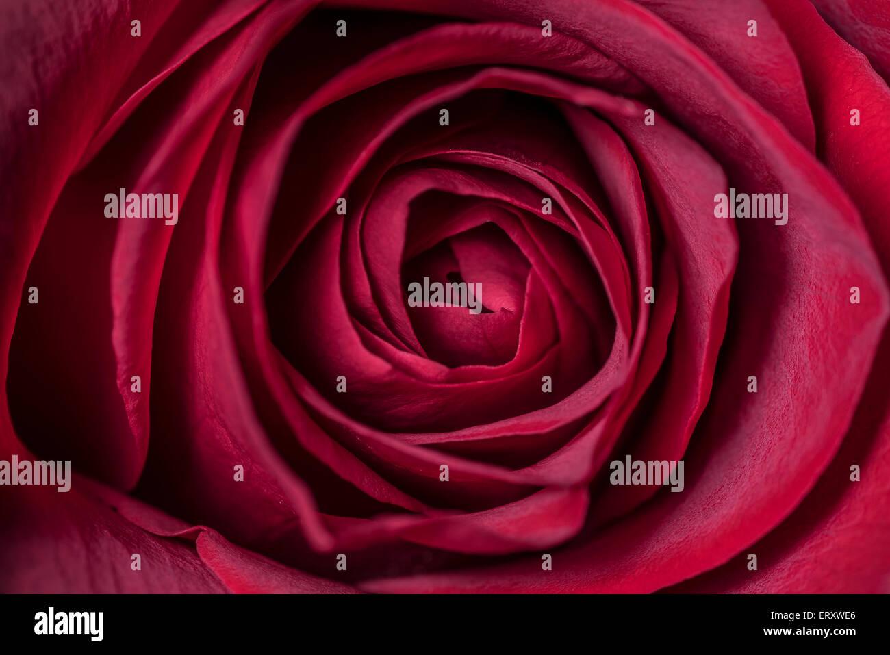 Low Key Rose Stockfotos Low Key Rose Bilder Alamy