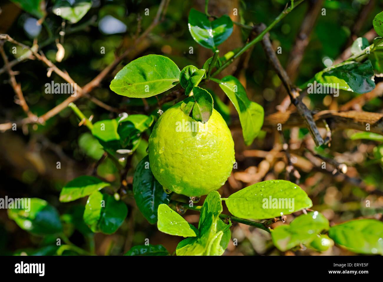 Lime-Zitronensauce Vitamin c; Zitronensaft und Zitronenschale Tang; Indien Stockbild