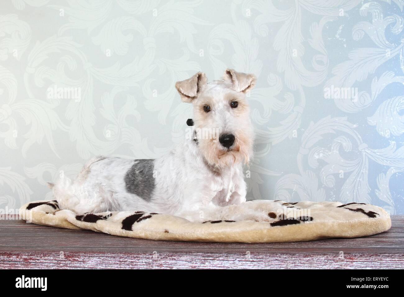 Fox Terrier liegend Stockfoto, Bild: 83583008 - Alamy