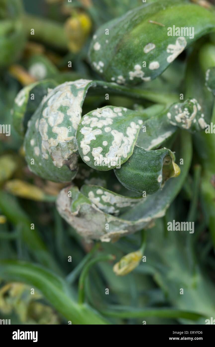 Weißer Rost oder weiß Blister Pilzerkrankung auf Brokkoli Stockbild
