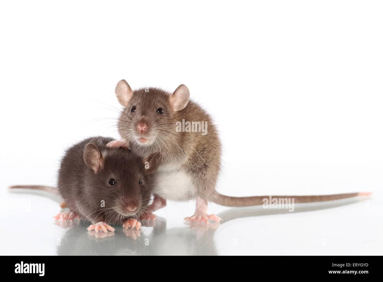 2 Ratten Stockbild