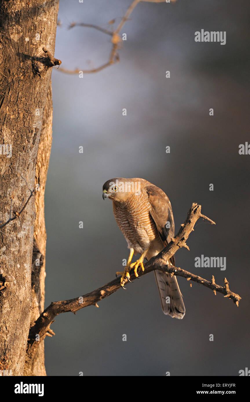 Shikra Accipiter Badius auf Ast; Ranthambore Nationalpark; Rajasthan; Indien Stockbild