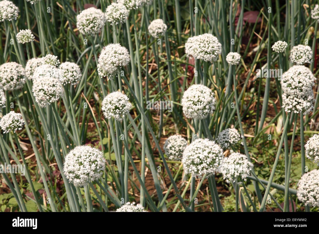 Zwiebel Blume Allium cepa Stockbild