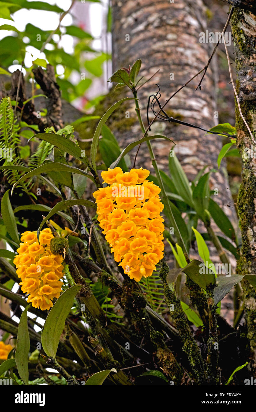 Orchidee; Dendrobium Densiflorum Ananas Orchideen genannt; Kalimpong; Westbengalen; Indien Stockbild