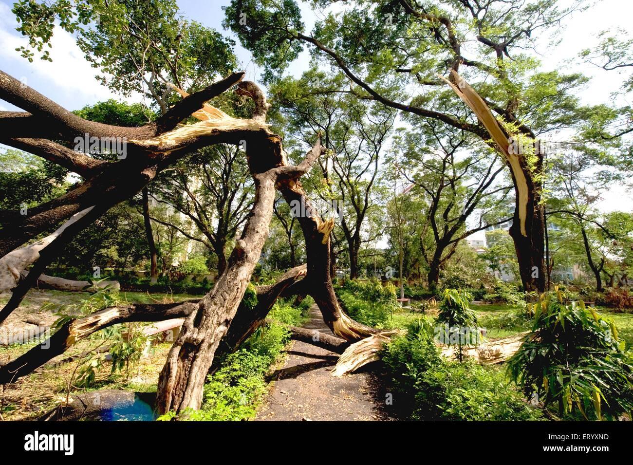 Hurrikan auf Bäumen am Ballygunge geschlagen; Kalkutta Calcutta; Westbengalen; Indien Stockbild