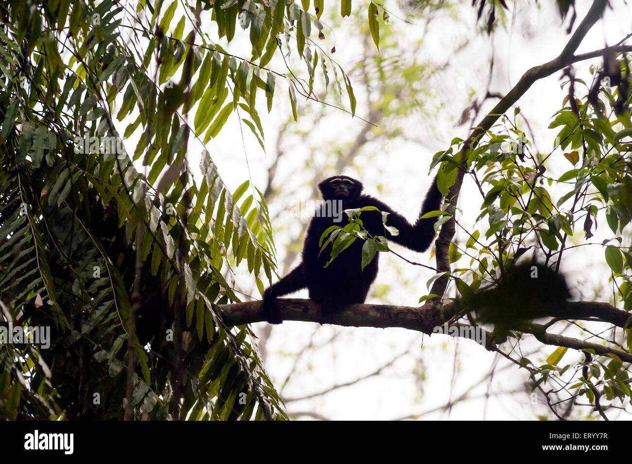 schwarzen männlichen Hollong Gibbons auf Ast in Jorhat in Assam Indien Asien Stockbild
