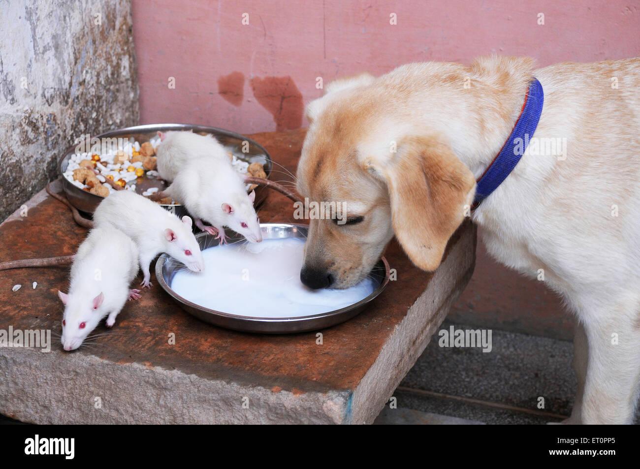 Hund und weißen Ratten trinken Milch wie Freunde, Jodhpur, Rajasthan Indien Stockbild