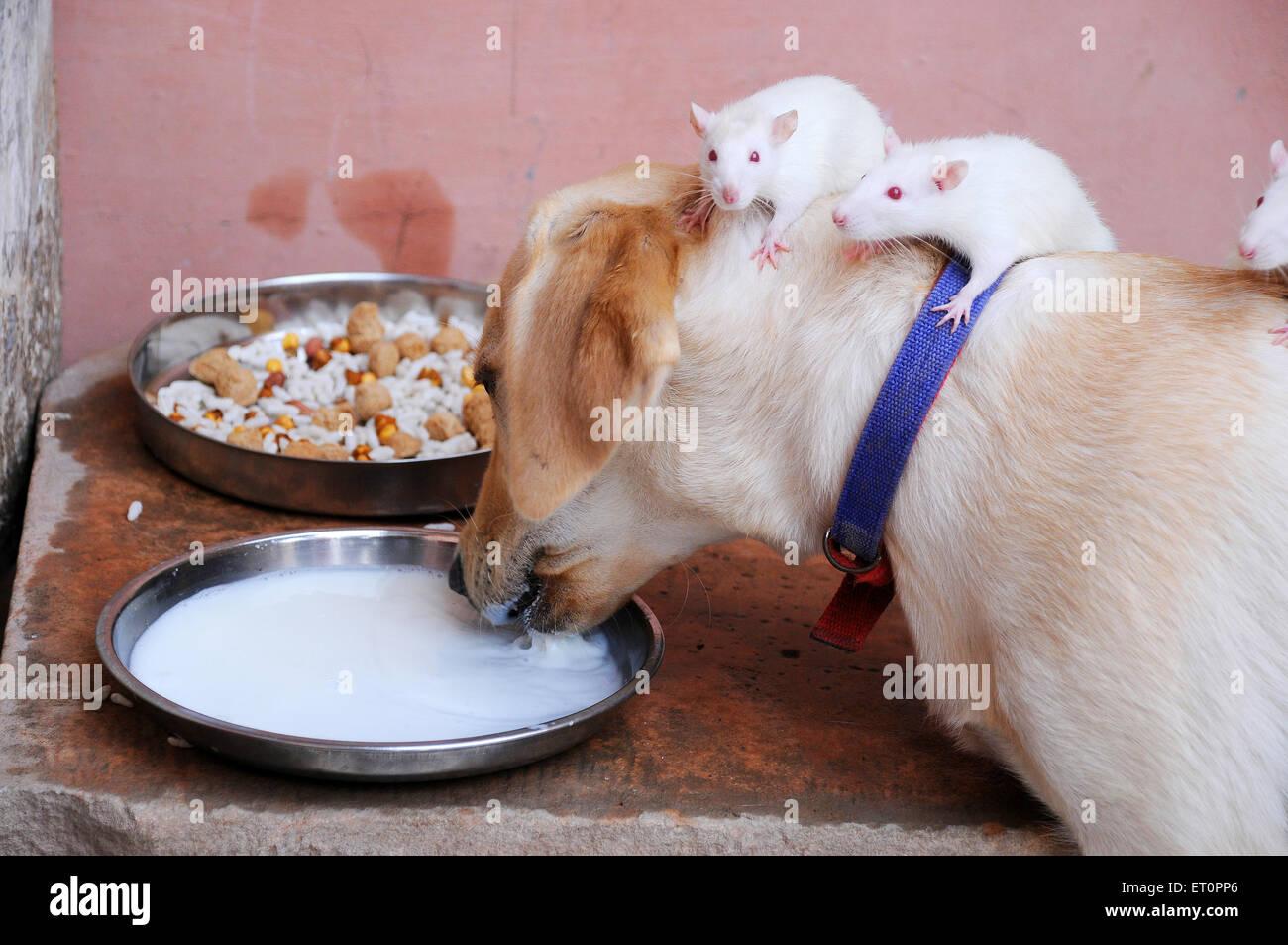Hund und weißen Ratten trinken Milch wie Freunde, Jodhpur, Rajasthan, Indien Stockbild