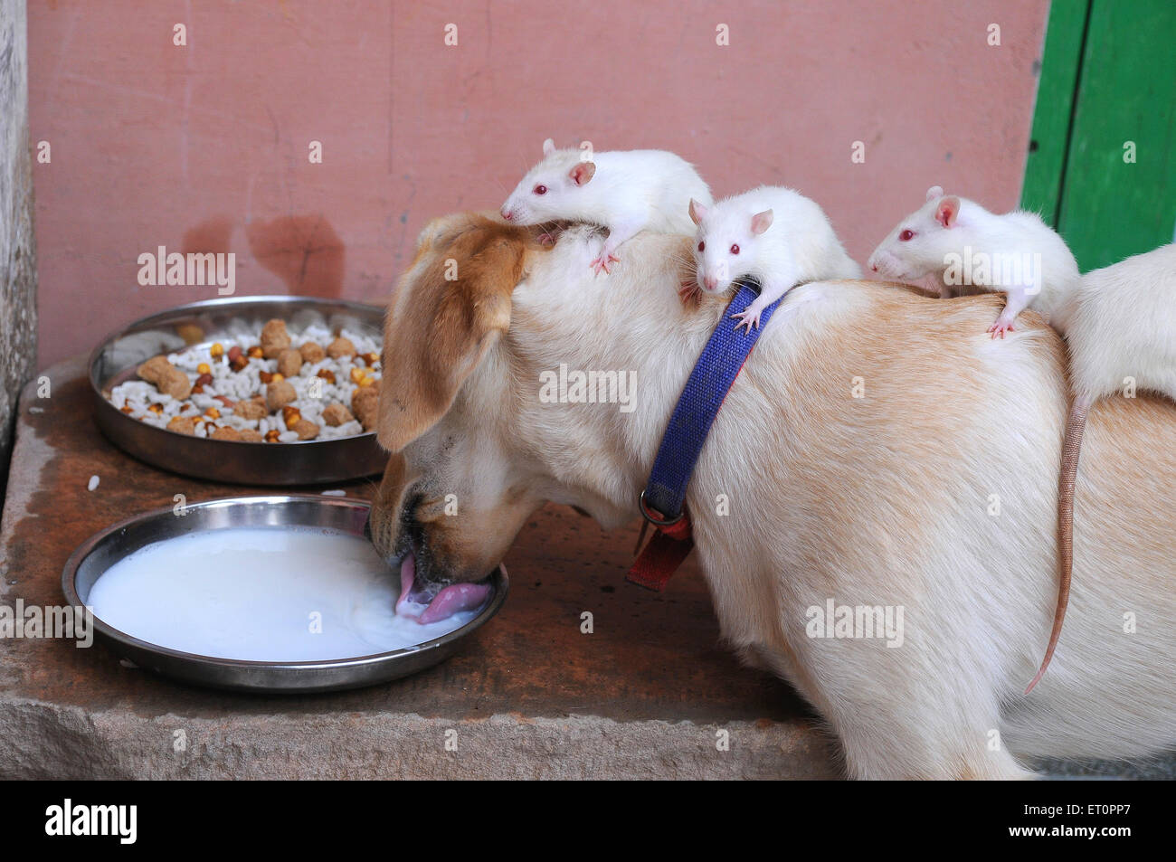 Ein Hund und weiße Ratten trinken Milch wie Freunde; Jodhpur; Rajasthan; Indien Stockbild