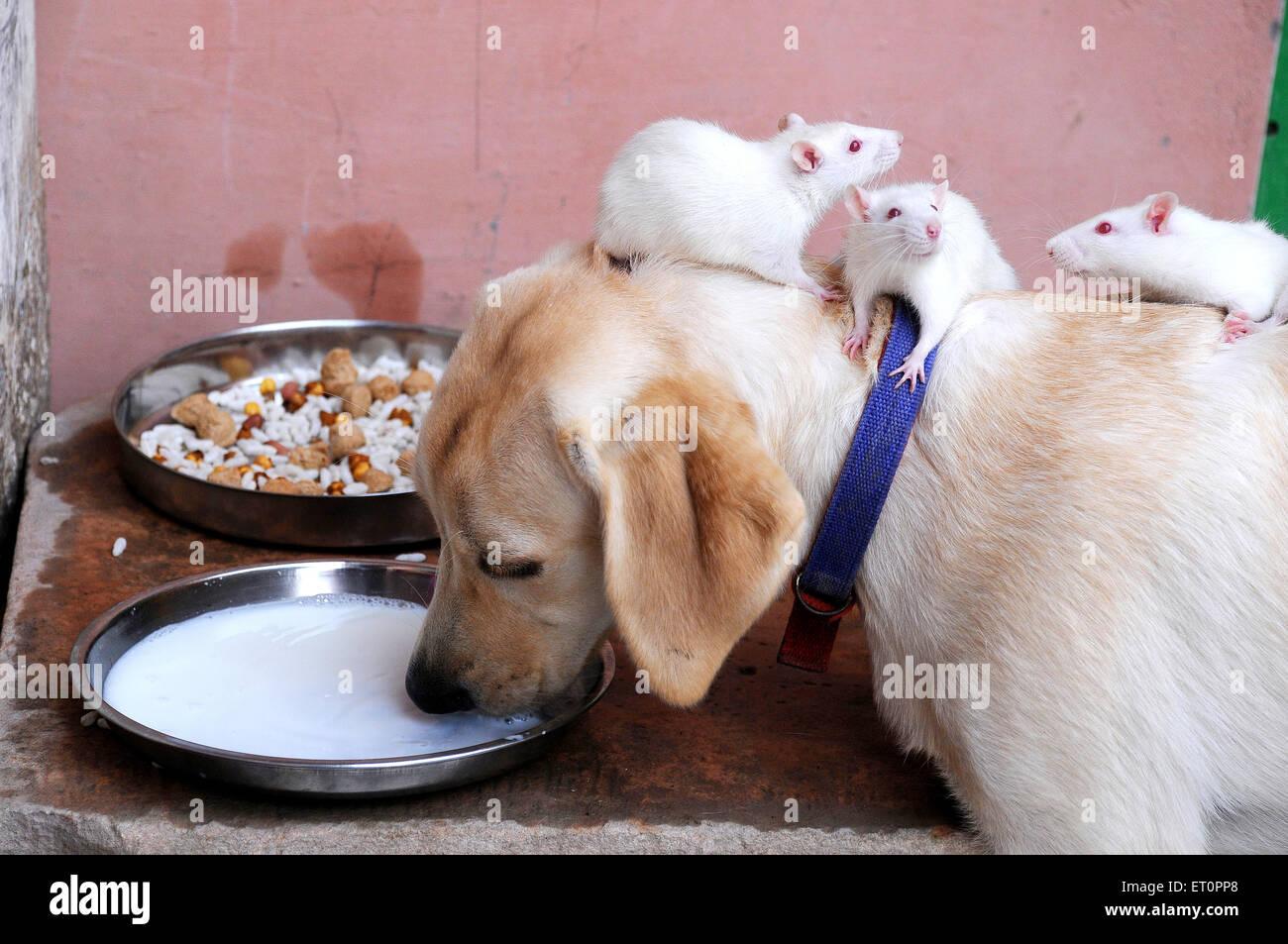 Hund und weißen Ratten konsummilch wie Freunde, Jodhpur, Rajasthan, Indien Stockbild