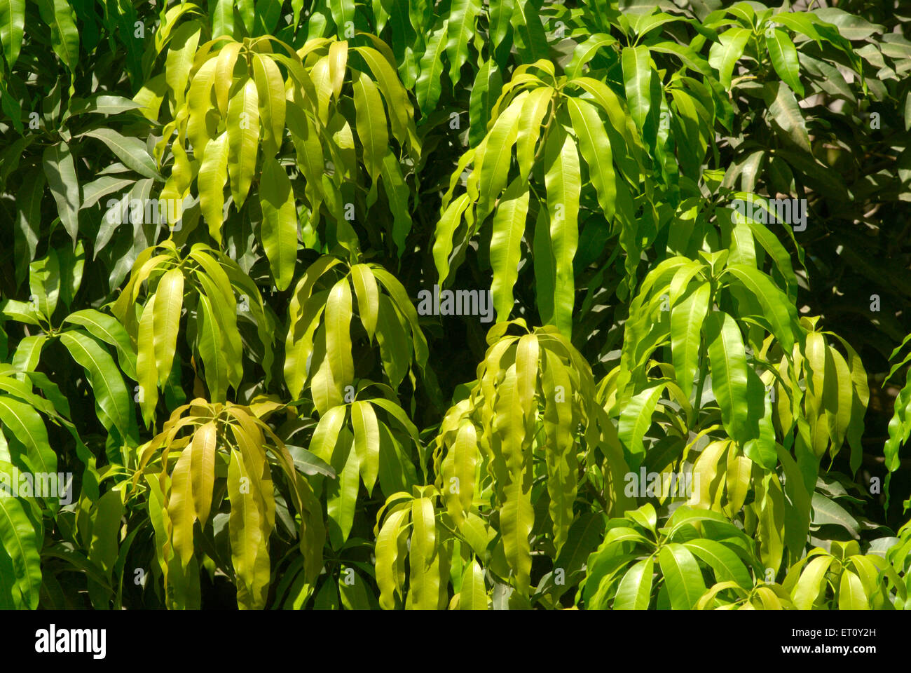 Grüne Blätter der Mangobaum günstig in der hinduistischen Religion; Thane; Maharashtra; Indien Stockbild