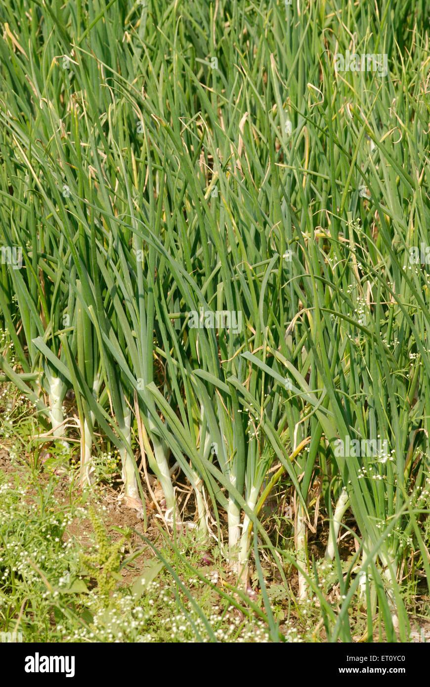 Bereich der üppige grüne Zwiebel Ernte Gemüse; Dorf Donje; Pune; Maharashtra; Indien Stockbild