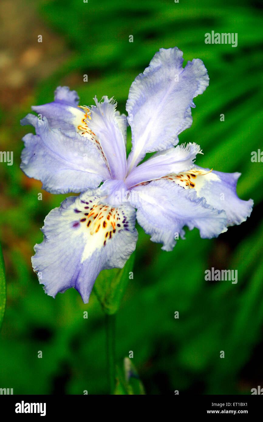 Blüten; Orchideen-Iris; Iris Japonica Stockbild