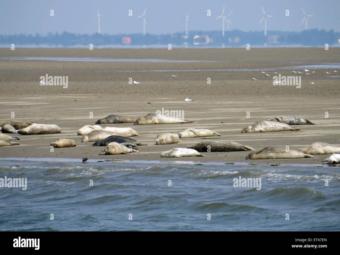 Liste, Deutschland, Seehundbank in Schleswig-Holstein-Nationalpark ...
