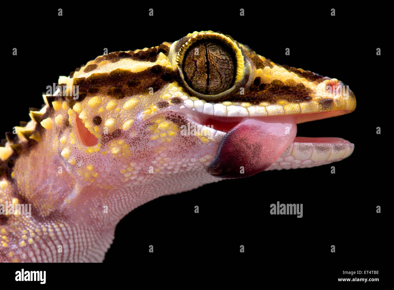 Lothara Gecko (Paroedura Lohatsara) Stockbild