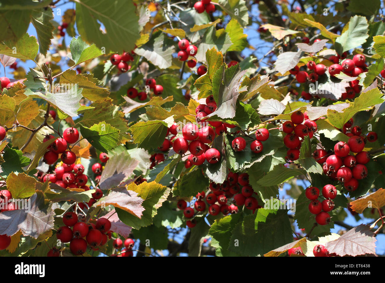 herbst rote beeren auf irga shadberry baum stockfoto bild 83728156 alamy. Black Bedroom Furniture Sets. Home Design Ideas