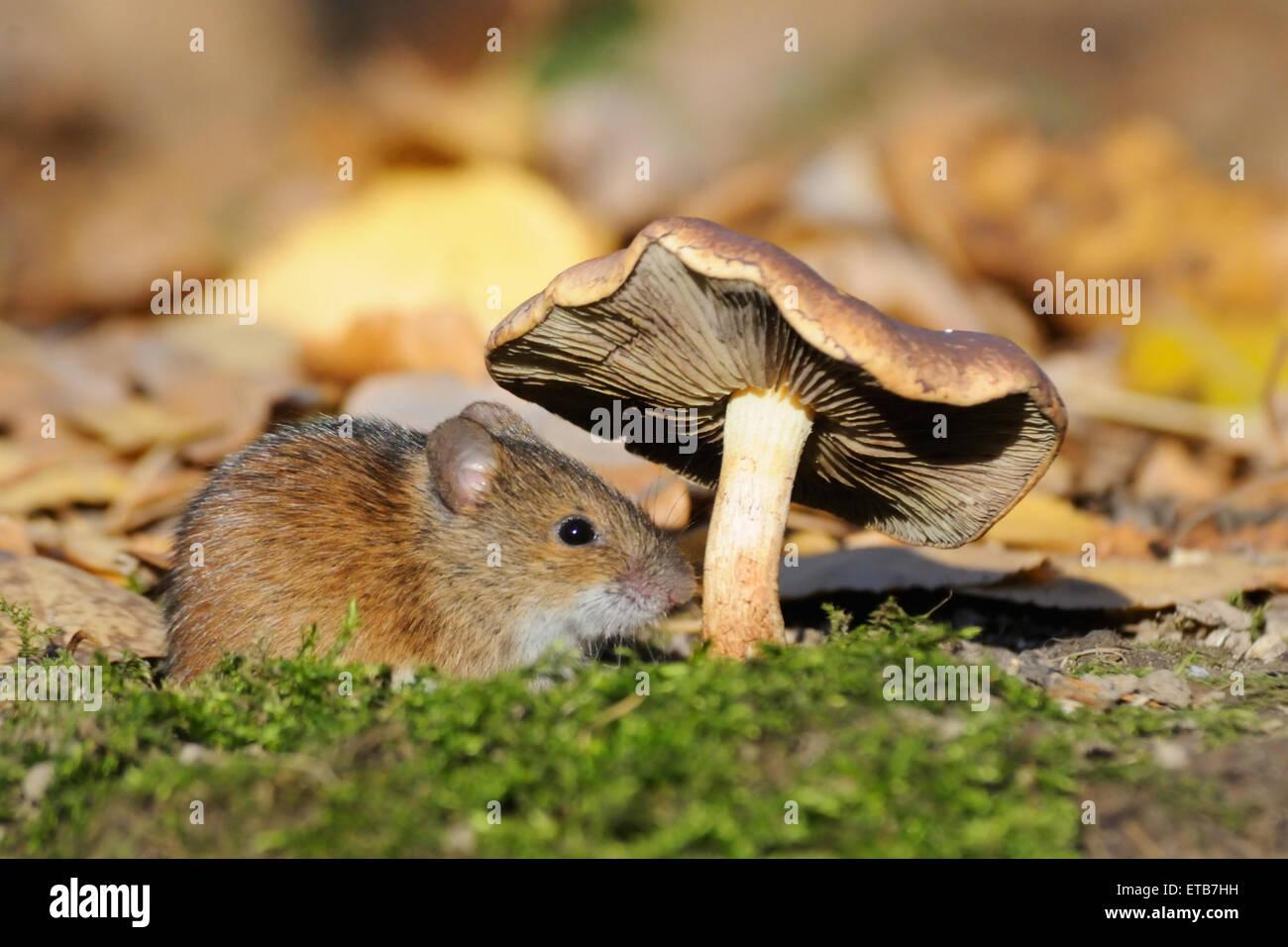 Gestreifte Feldmaus unter Pilz Stockbild