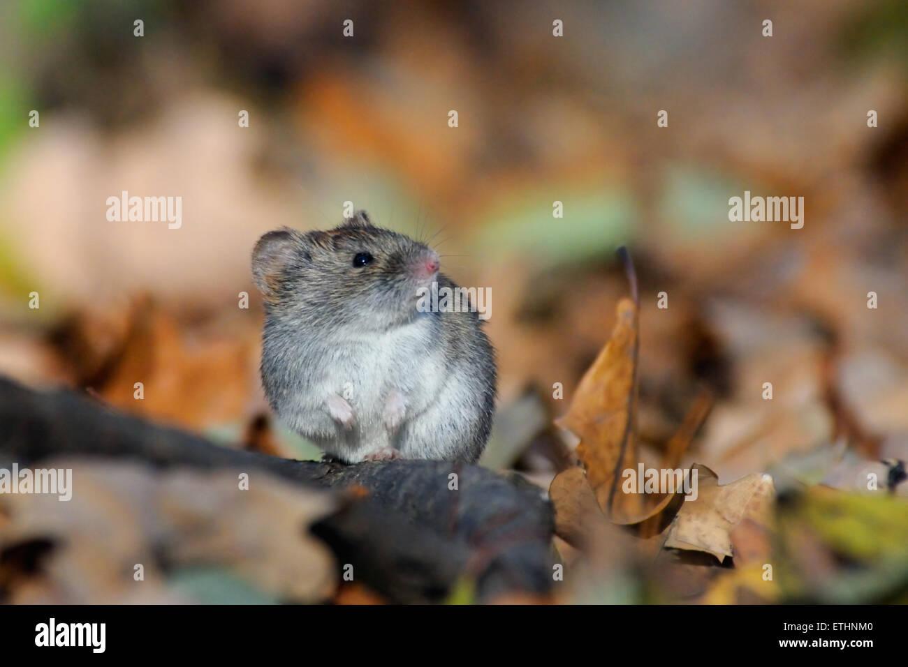 Holz-Maus unter gelbe Blätter Stockbild