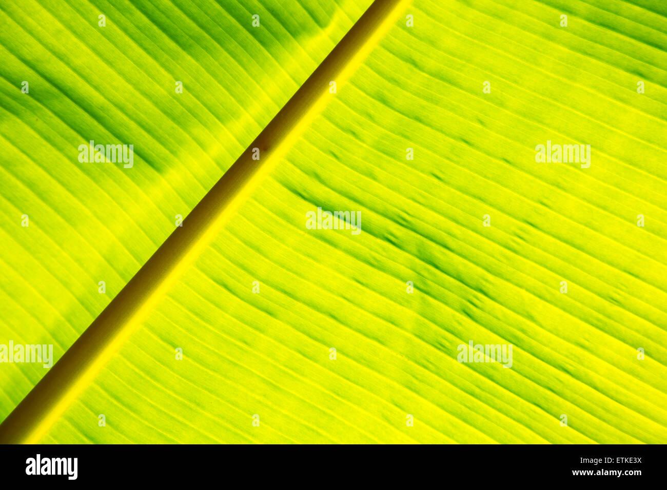 Textur der Hintergrundbeleuchtung frisches grünes Blatt Hintergrund Nahaufnahme Stockbild