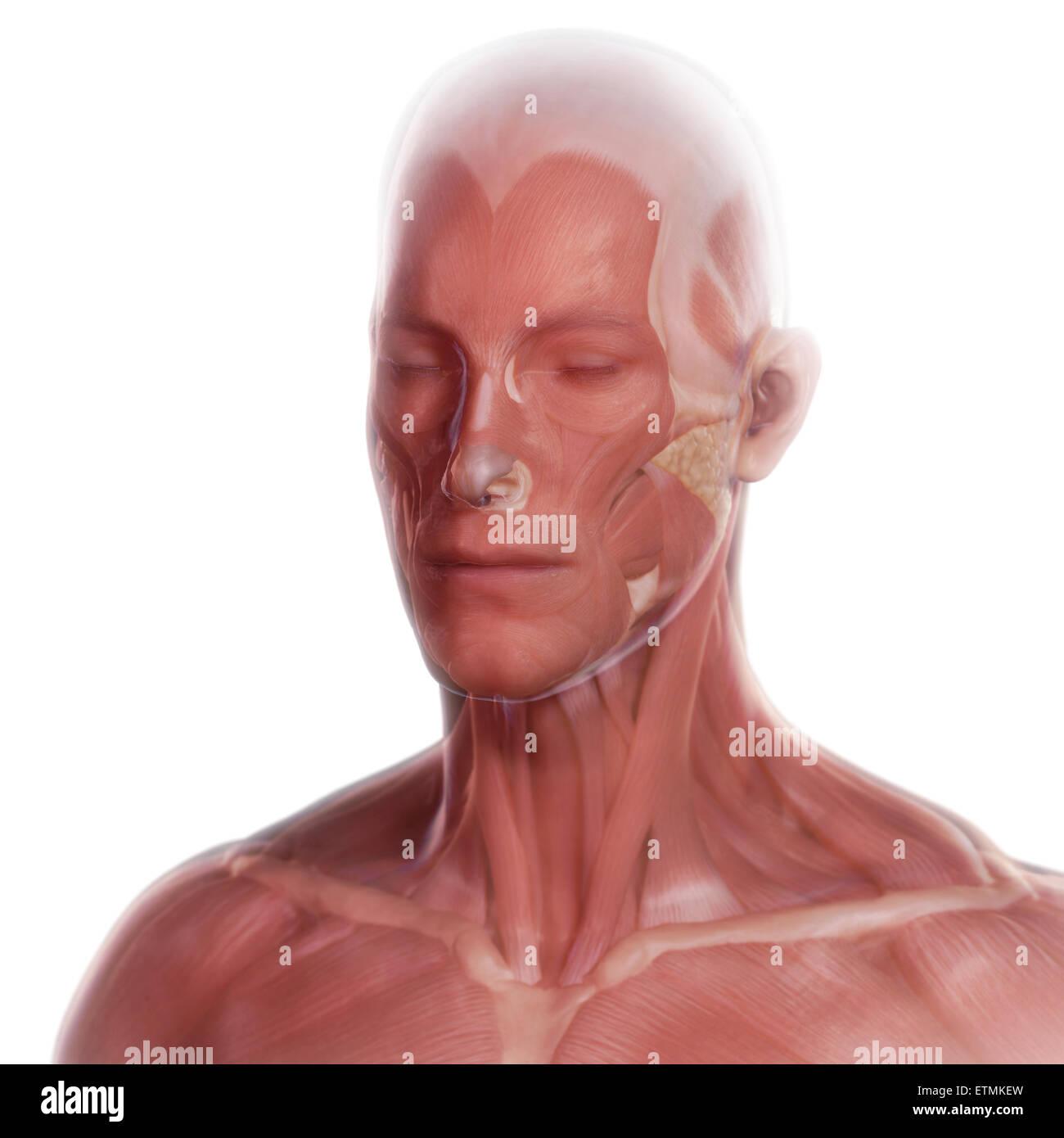 Konzeptbild der Muskeln des Gesichts Stockfoto, Bild: 84047569 - Alamy