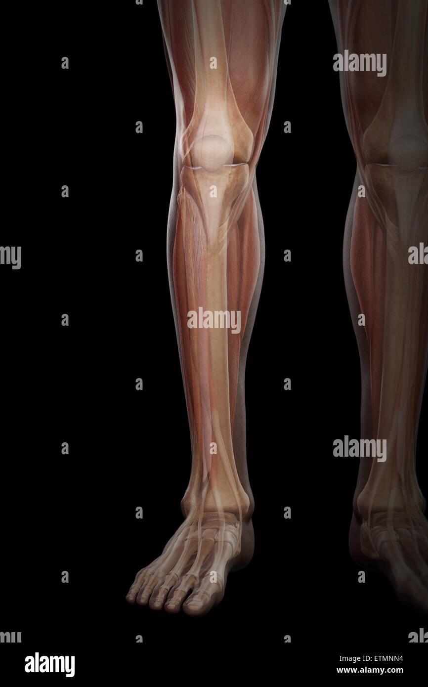 Illustration von Muskulatur und Skelett-Struktur der Unterschenkel ...