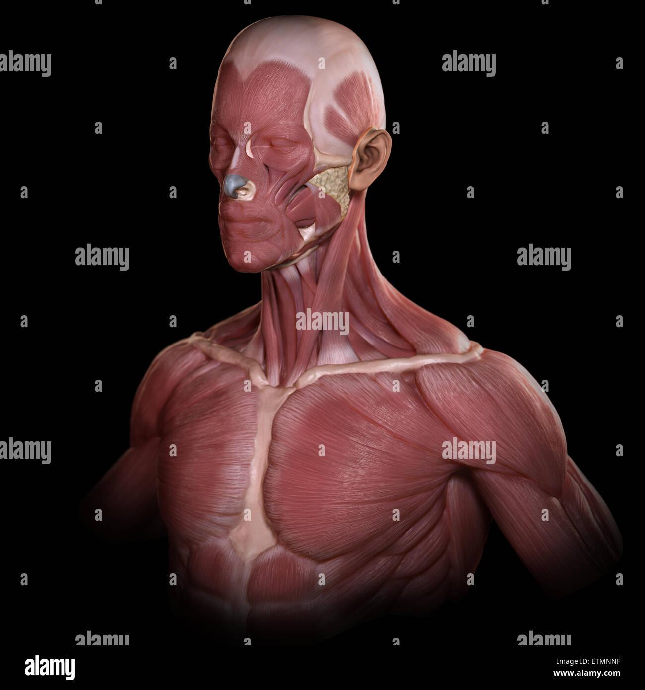Konzeptbild der Muskeln des Gesichts und des oberen Körpers. Stockbild