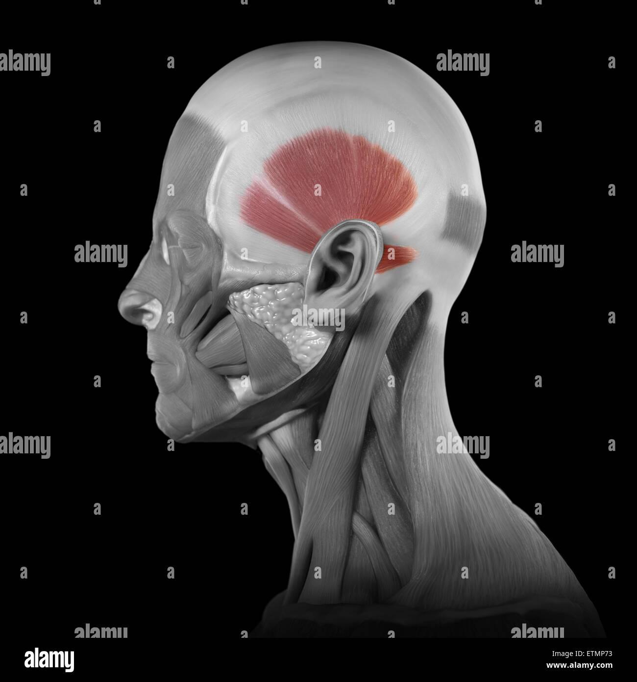 Konzeptbild der Muskeln des Gesichts mit den Temporalis-Muskeln ...