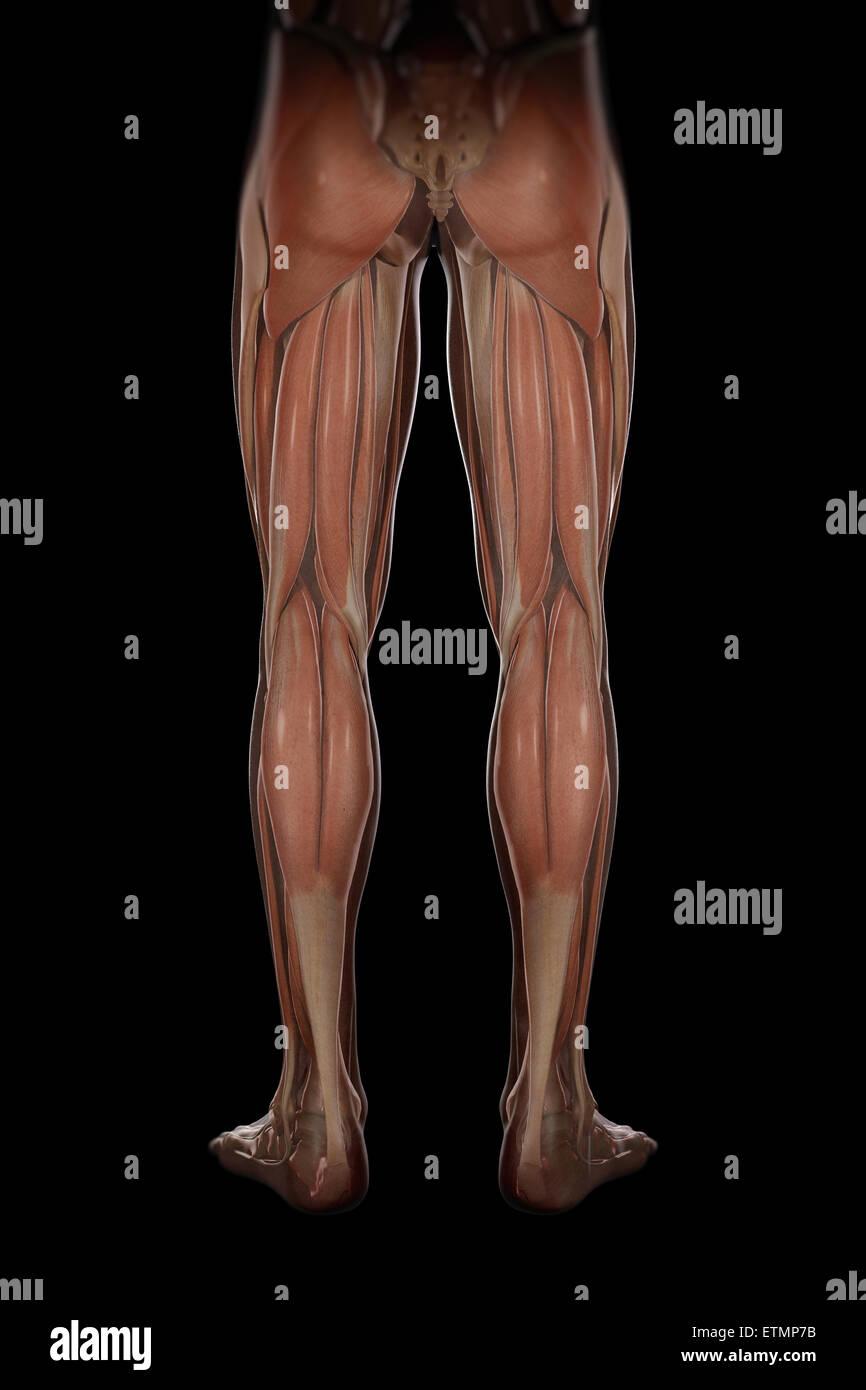 Groß Muskelanatomie Des Beines Bilder - Menschliche Anatomie Bilder ...