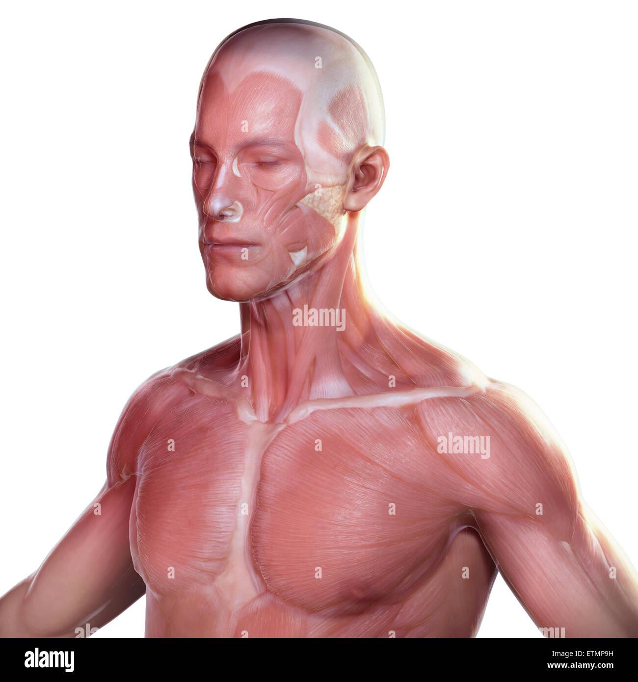Konzeptbild des Gesichts und des oberen Körpers mit der Muskulatur unter der Haut sichtbar. Stockfoto