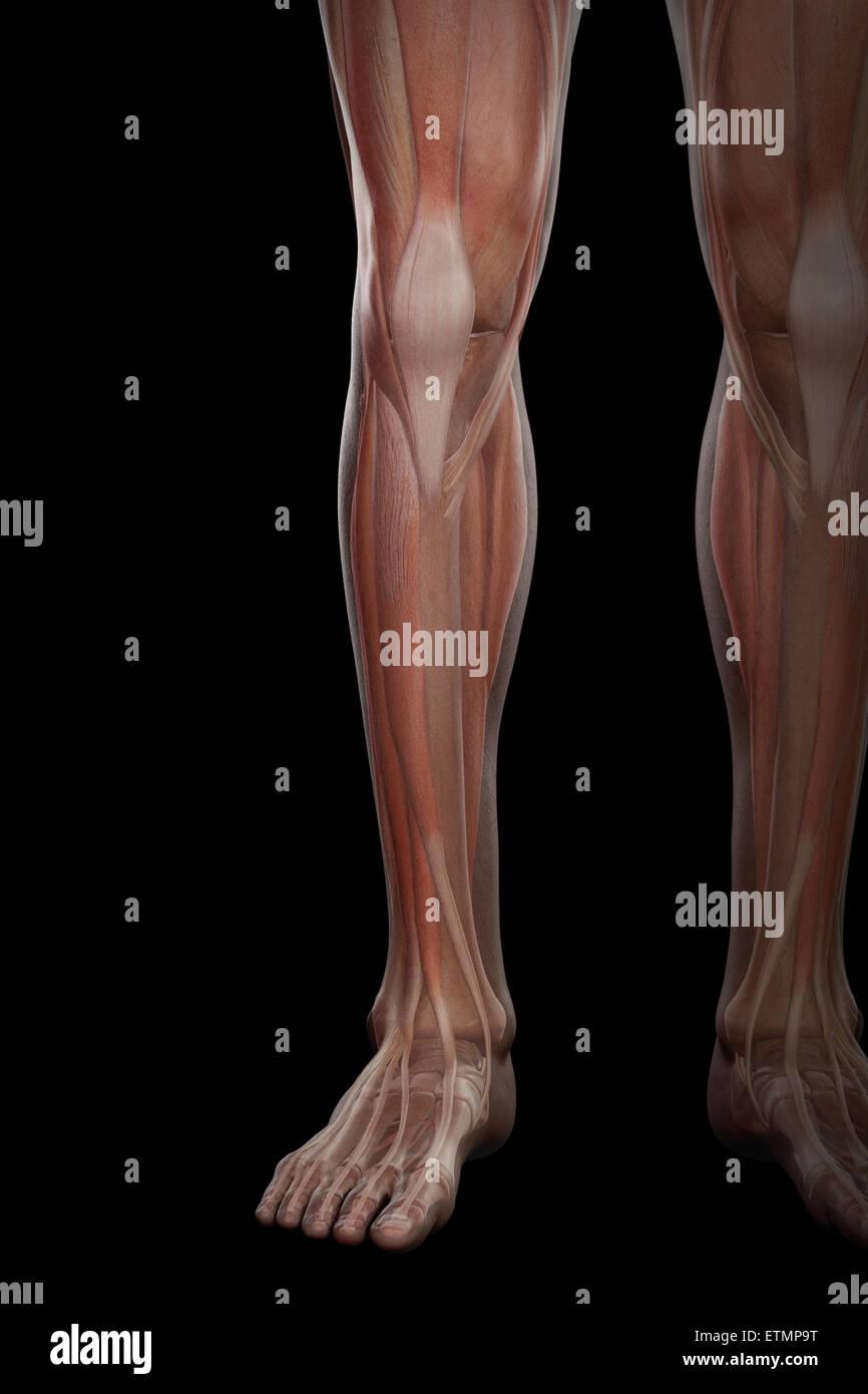 Fantastisch Muskelanatomie Unterschenkel Zeitgenössisch ...