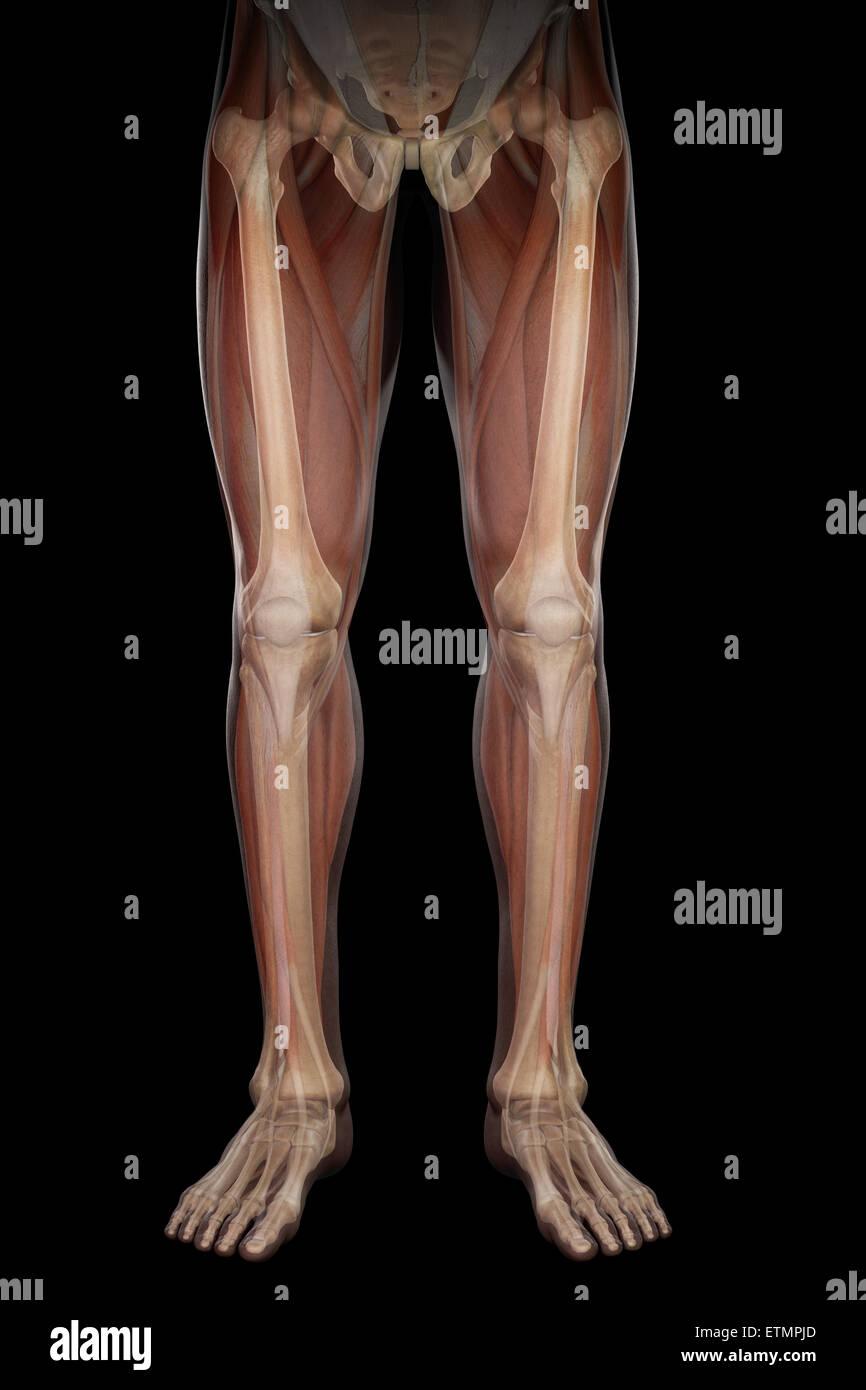 Drawsh Anatomie Beine Anatomy t Anatomie Beine