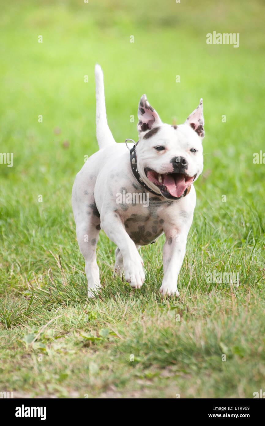 Franzosische Bulldogge Mix Hund Laufen Stockfotografie Alamy