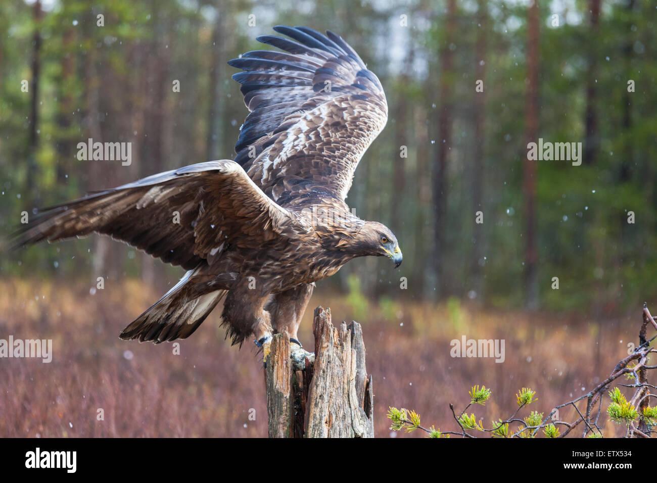 Steinadler auf einem Baumstamm sitzend und mit seinen Flügeln schlägt in Schweden, Skandinavien Stockbild