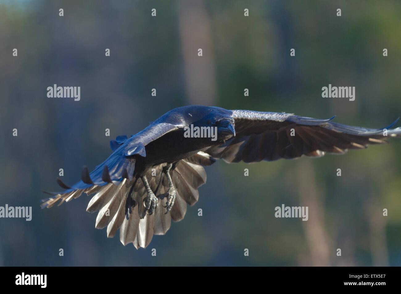 Nahaufnahme Foto von fliegenden Raben Blick in die Kamera Stockbild