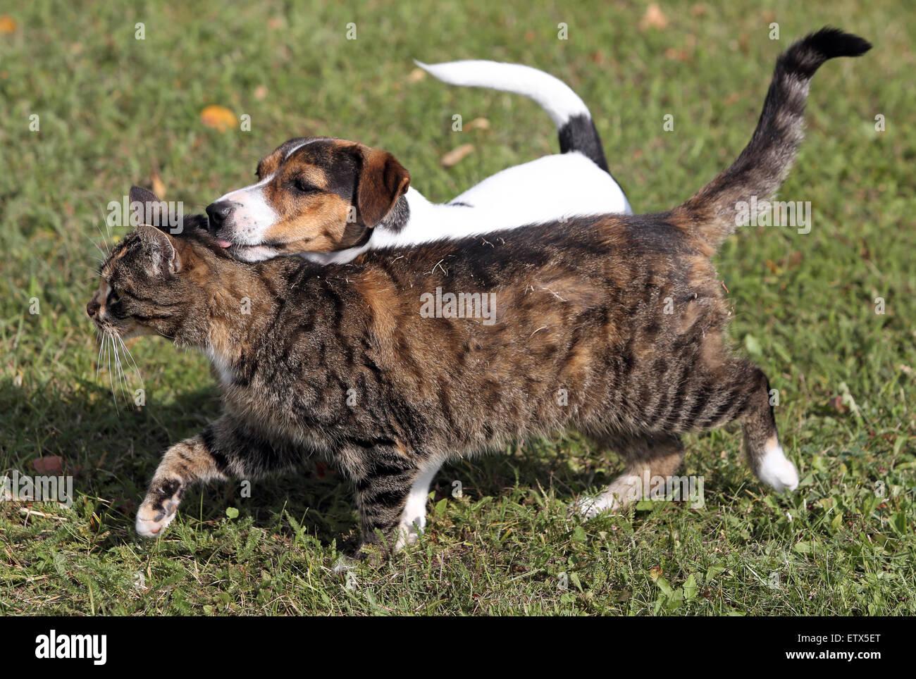 Görlsdorf, Deutschland, Jack Russell Terrier und Hauskatze friedlich nebeneinander laufen Stockbild