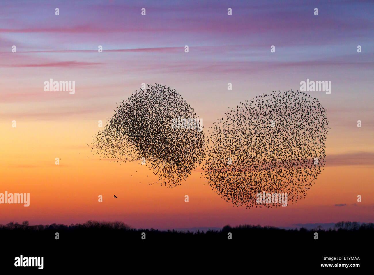 Zwei europäische Starling Murmurations / große Herde von gemeinsamen Stare (Sturnus Vulgaris) und Raubvogel Stockbild