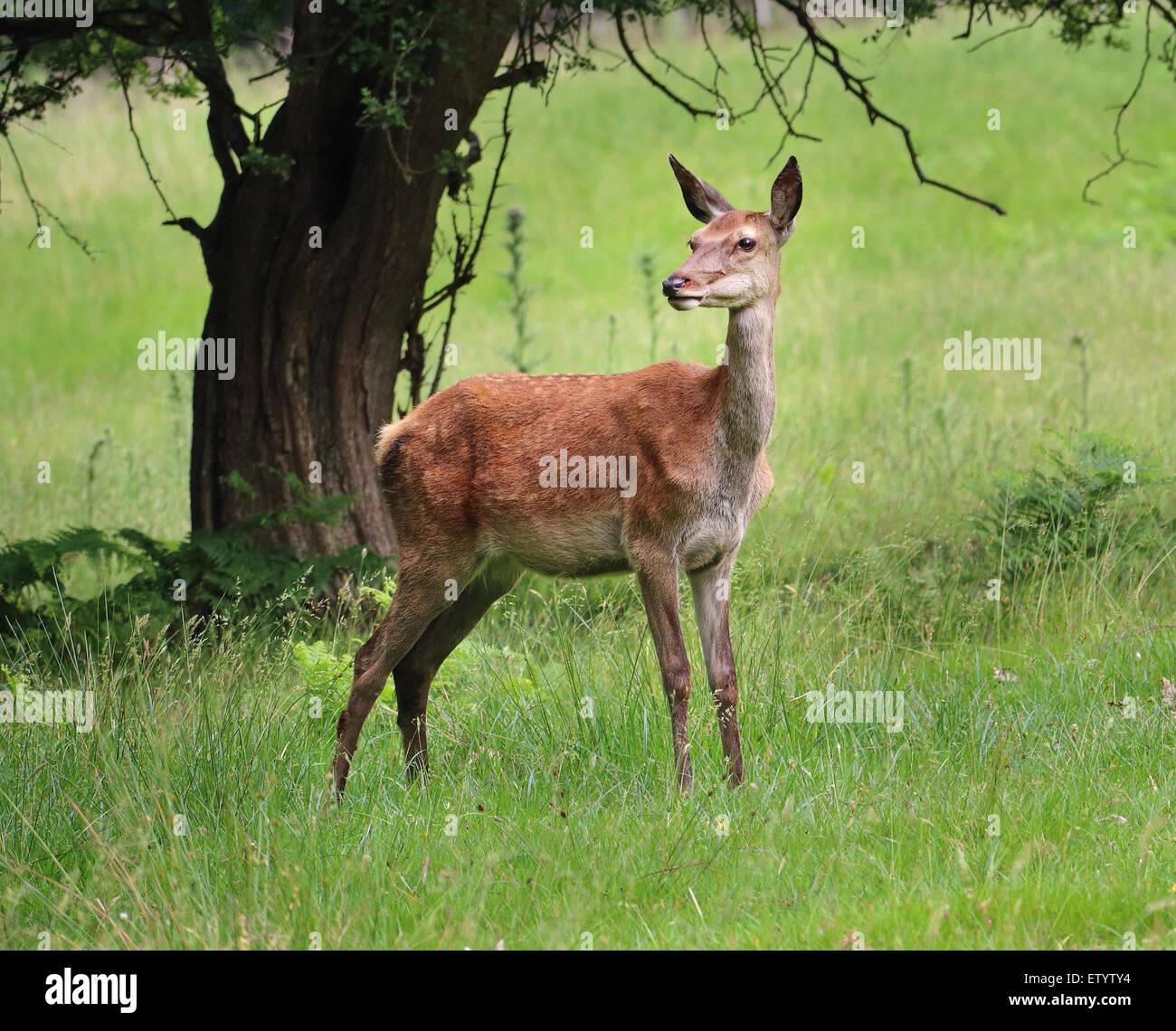 Wachsamen Hind Rothirsch (Cervus Elaphus) stehen in einem Park mit ihren Ohren gestochen Stockbild