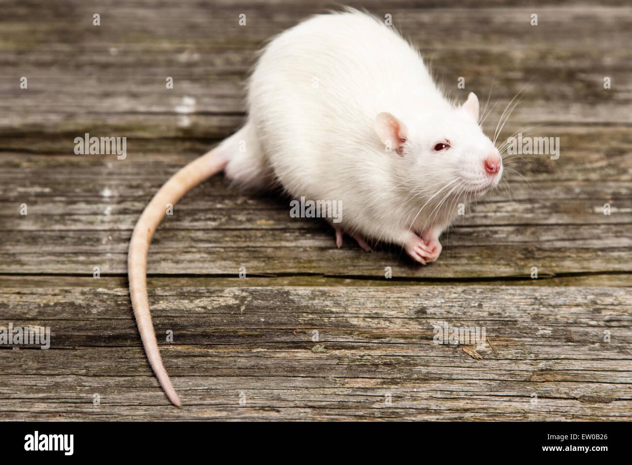 Haustier Ratte Stockfoto