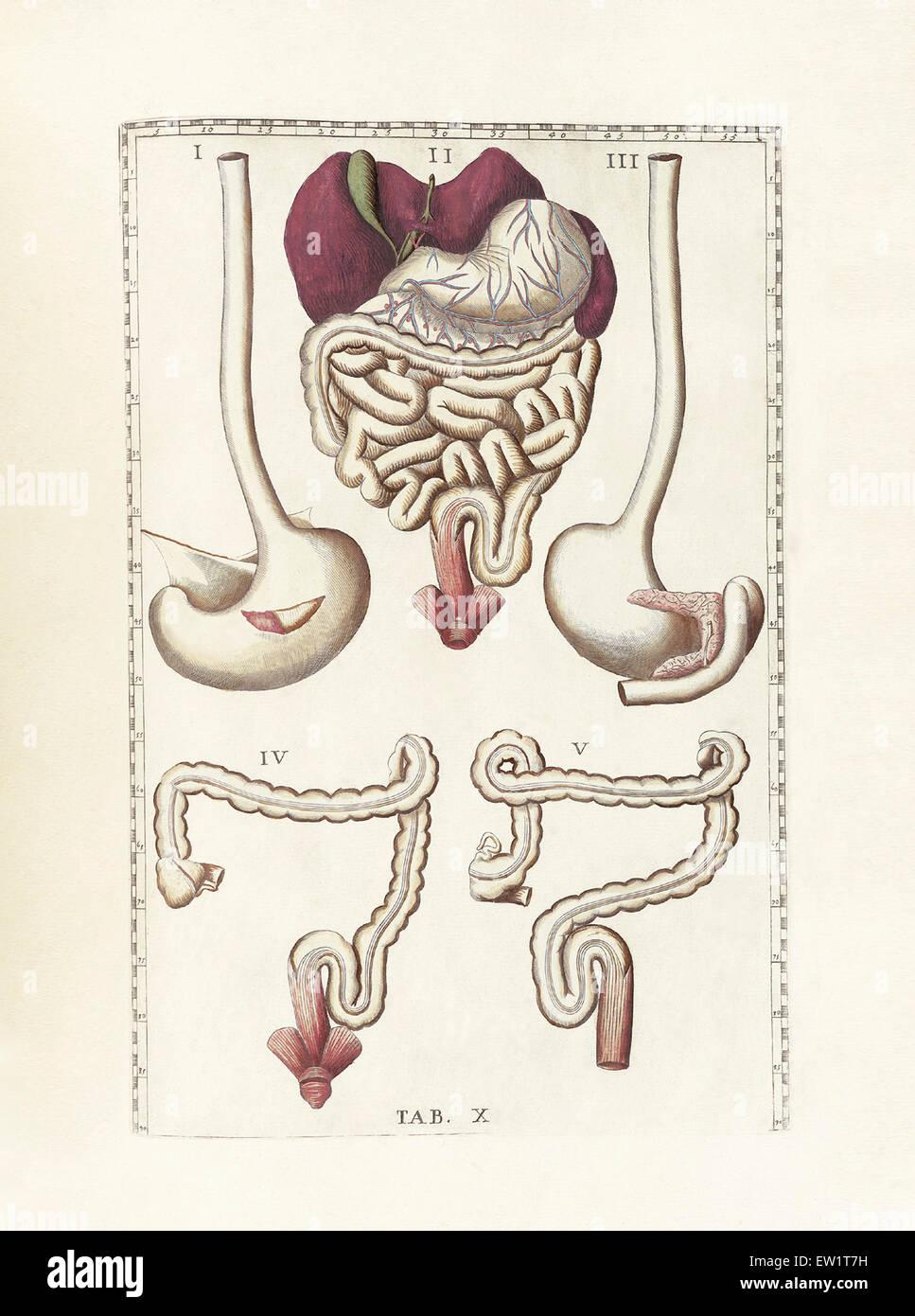 Digestive Small Large Intestine Drawing Stockfotos & Digestive Small ...