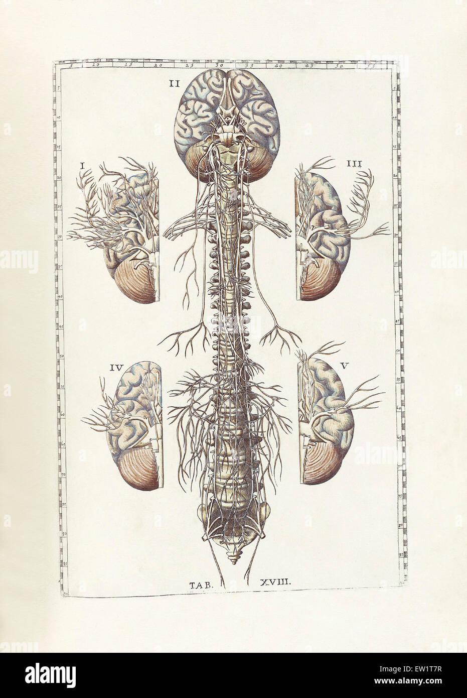 Niedlich Relative Position Anatomie Galerie - Menschliche Anatomie ...