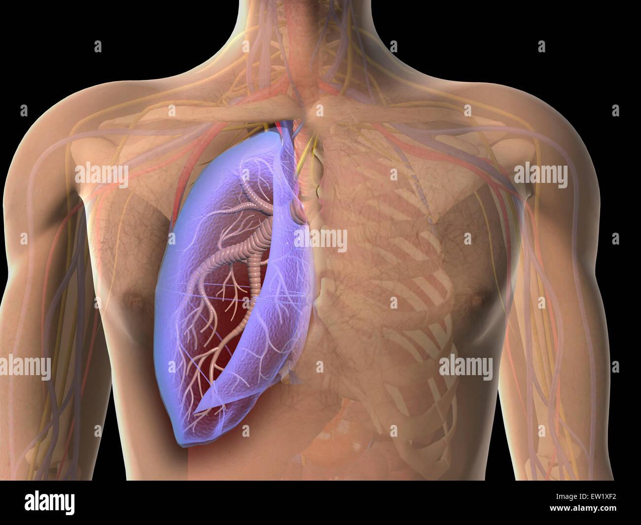Upper Respiratory Anatomy Stockfotos & Upper Respiratory Anatomy ...