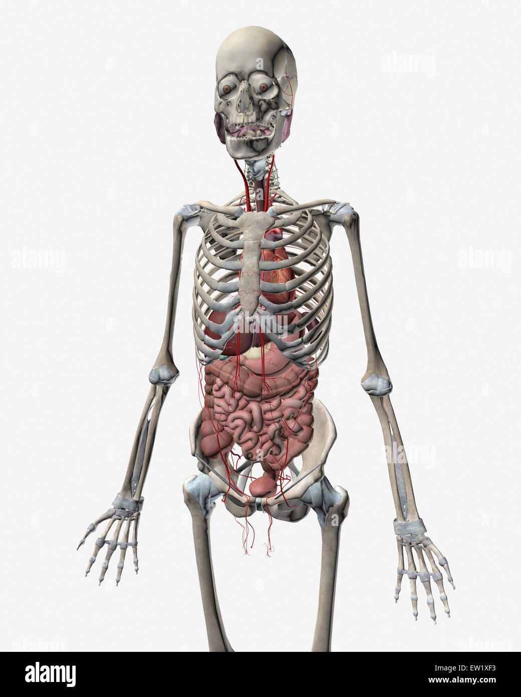 Menschliches Skelett-System mit Organe des Verdauungssystems ...