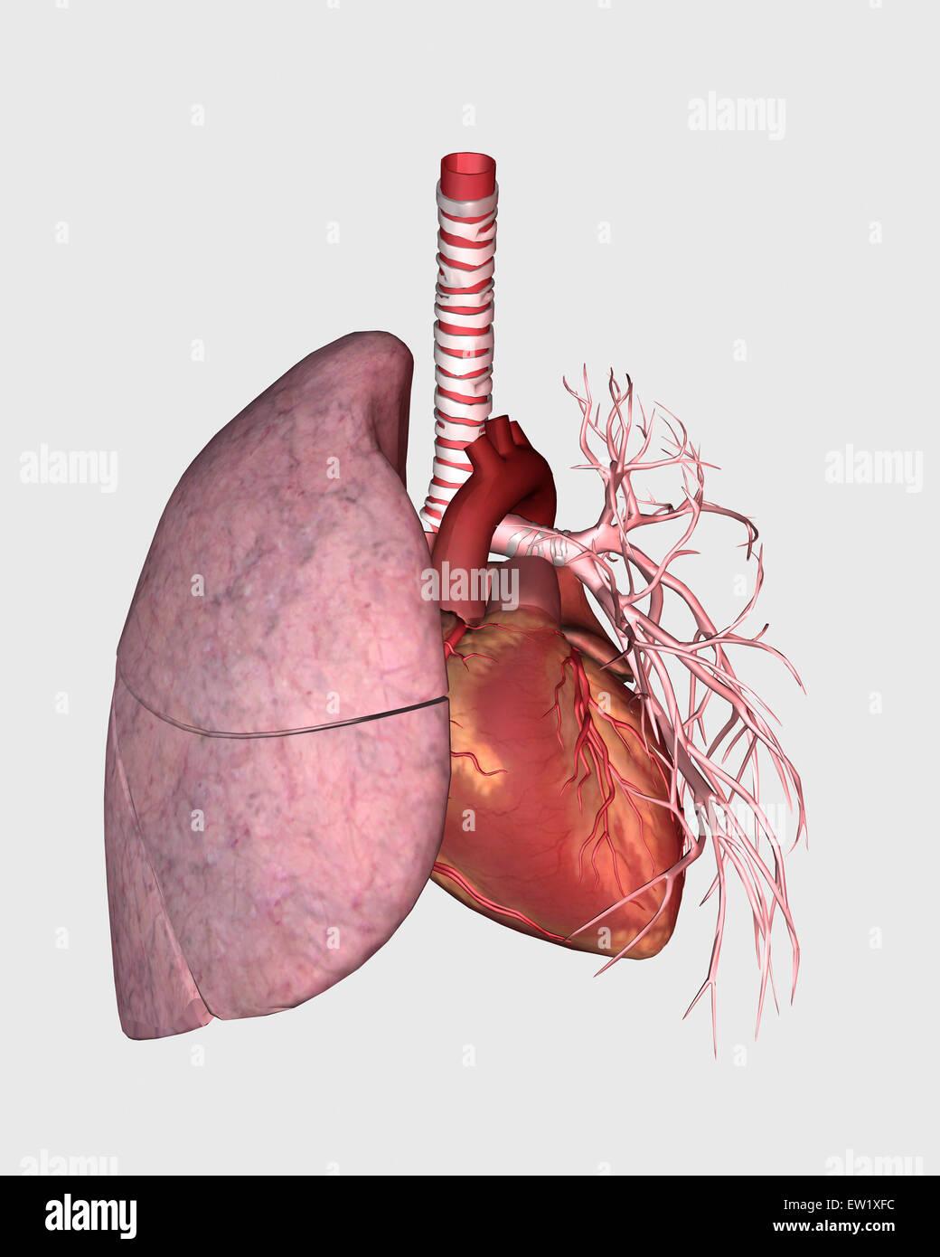 Lungenkreislauf des menschlichen Herzens und der Lunge Stockfoto ...