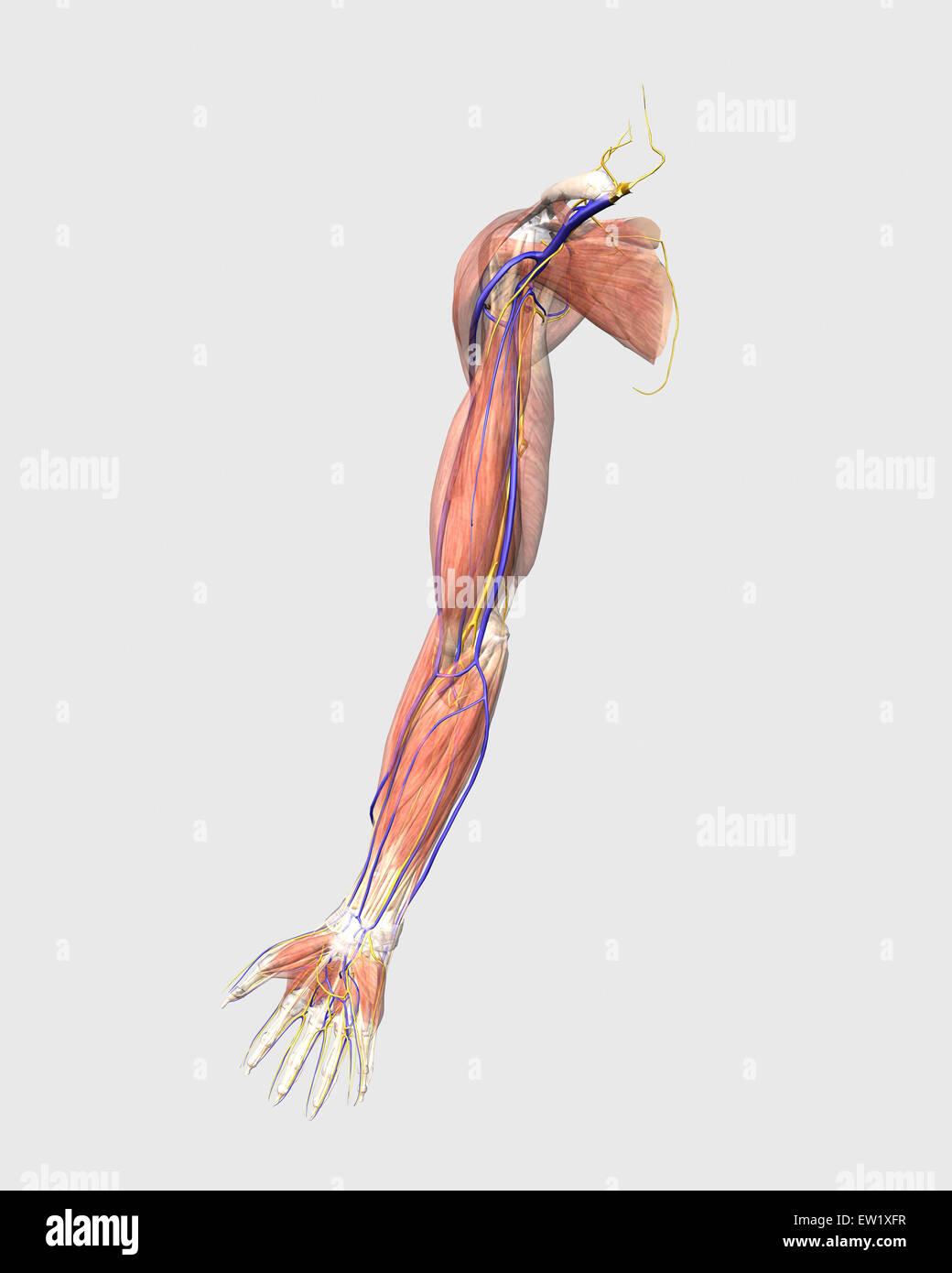 Medizinische Illustration der menschliche Armmuskeln, Venen und ...