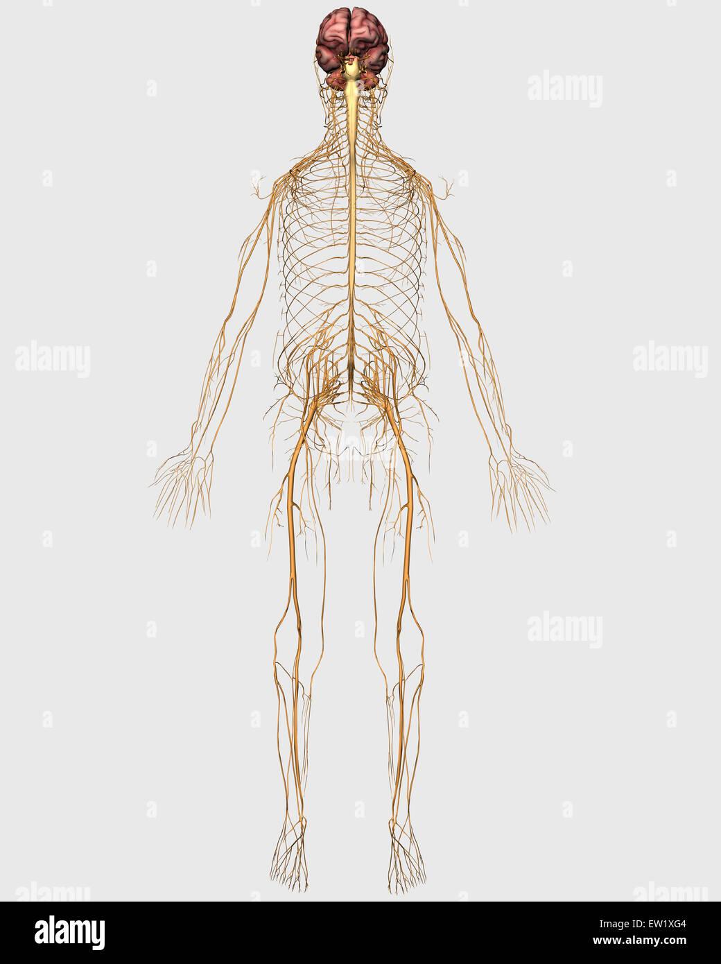 Medizinische Illustration des peripheren Nervensystems mit Gehirn ...
