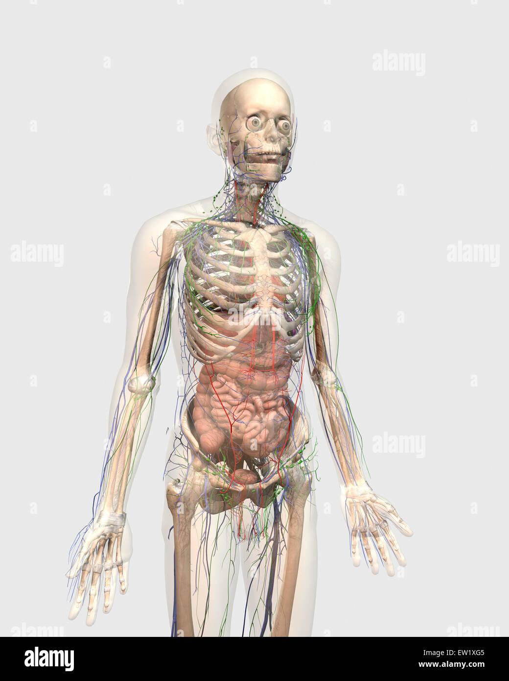 Transparente Körper mit innerer Organe, lymphatisches System und ...