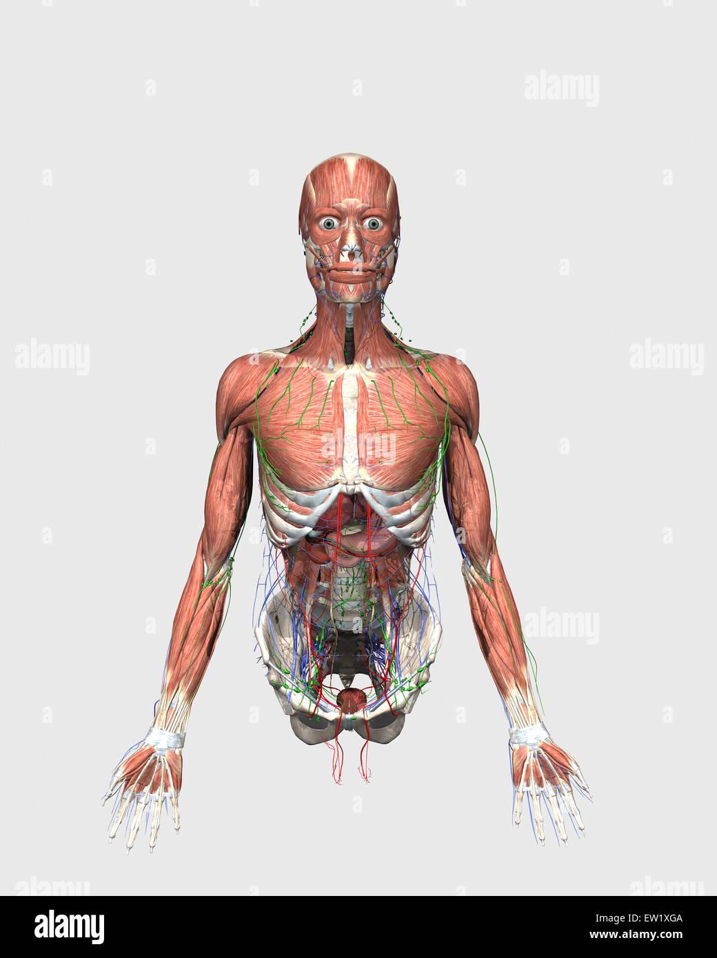 Medizinische Illustration der menschlichen Oberkörper mit Muskeln ...
