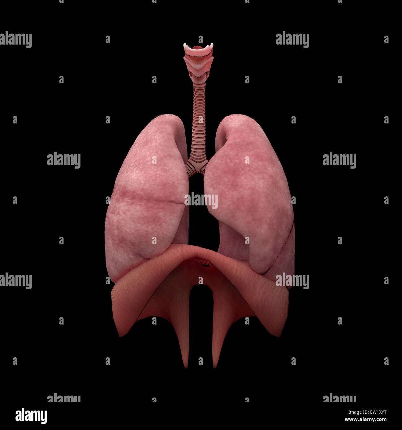 3D Darstellung der menschlichen Lunge Stockfoto, Bild: 84250988 - Alamy
